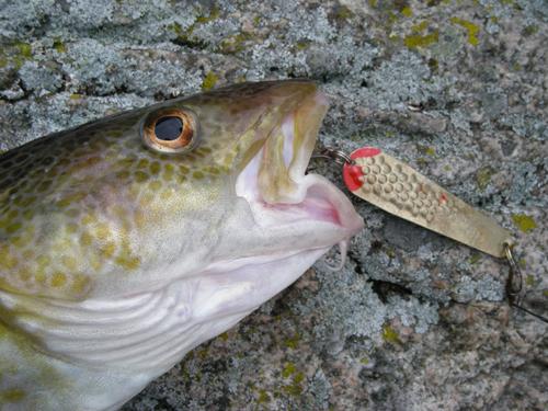 Dorsch-Seelachs Fliege Rot