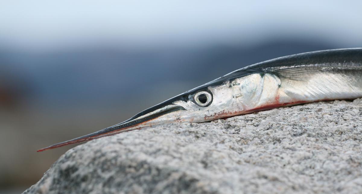 Hornhecht gefangen an der Ostsee